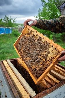De imker in de bijenstal controleert de bijenkorven en voert het schoonmaken uit, tilt de film op onder de dekking van de bijenkorf