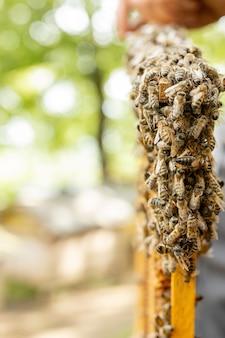 De imker zorgt voor honingraten. apiarist toont een lege honingraat. de imker zorgt voor bijen en honingraten. lege bijen honingraten