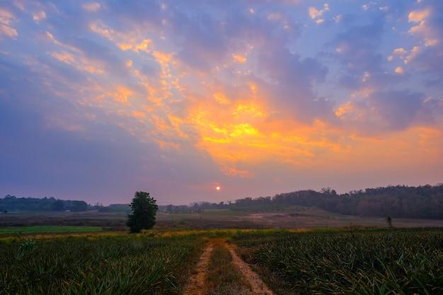 De ingang van de ananasplantage bij zonsopgang in de ochtend is een prachtige achtergrond.