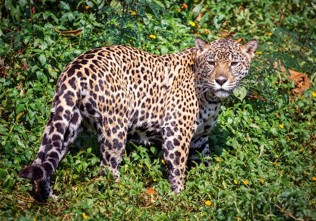 De jaguar in de wilde atmosfeer.