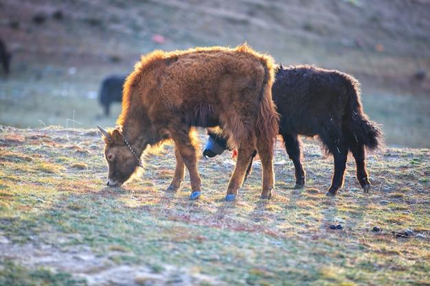 De jakken die gras op de berg in zonneschijndag eten