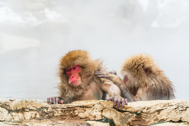 De japanse sneeuwaap (makaak) ontspant in de hete lente in de winter bij het sneeuwaappark.