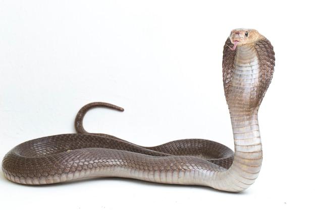 De javaanse spugende cobra (naja sputatrix) wordt ook wel de zuid-indonesische cobra genoemd die op wit wordt geïsoleerd
