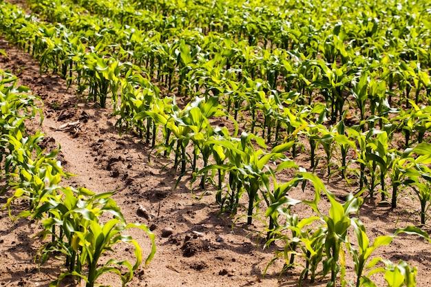 De jonge maïs groeit op een landbouwgebied