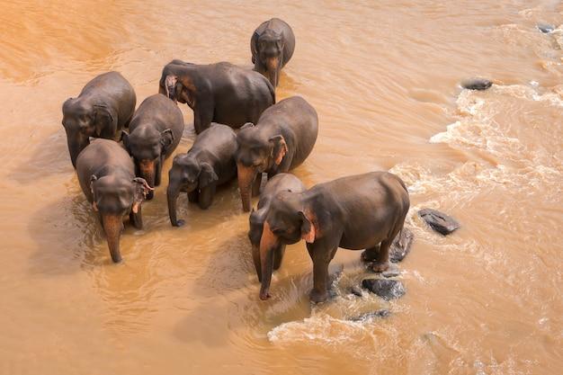 De jonge olifanten gingen drinken. olifanten baden in de oranje rivier. dierenwereld van sri lanka. Premium Foto