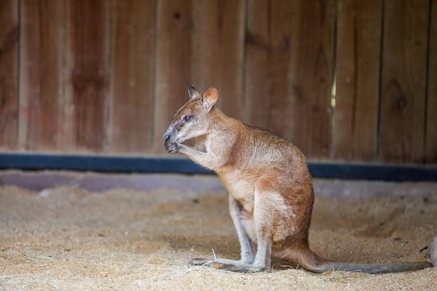 De jonge rode kangoeroe zit op het zand