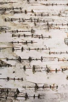 De jonge textuur van de berkboomschors