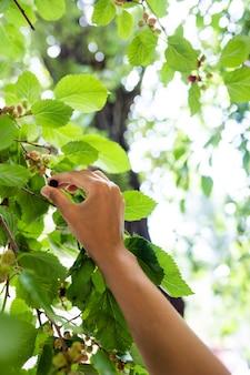 De jonge vrouw plukt de moerbeiboom van de boom.