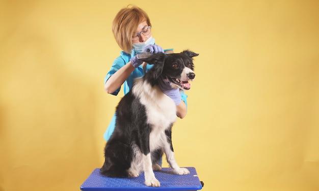 De jonge vrouwelijke trimmer kamt een hond op een geïsoleerd close-up als achtergrond. verzorging van huisdieren