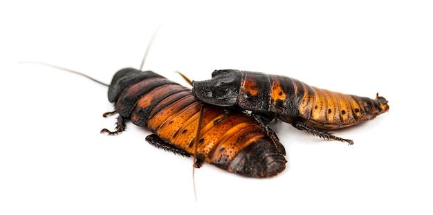 De kakkerlak van madagascar die op wit wordt geïsoleerd