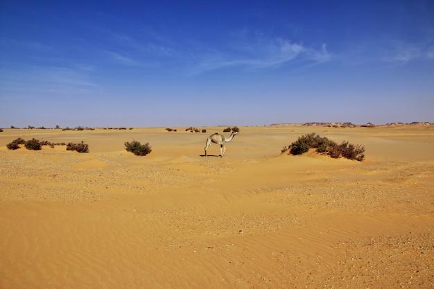 De kameel in de sahara woestijn van soedan
