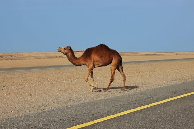 De kameel in de woestijn, saudi-arabië