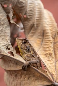 De kameleon bosdraak verbergt zich in droge bladeren