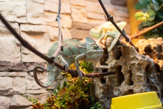 De kameleon op een tak
