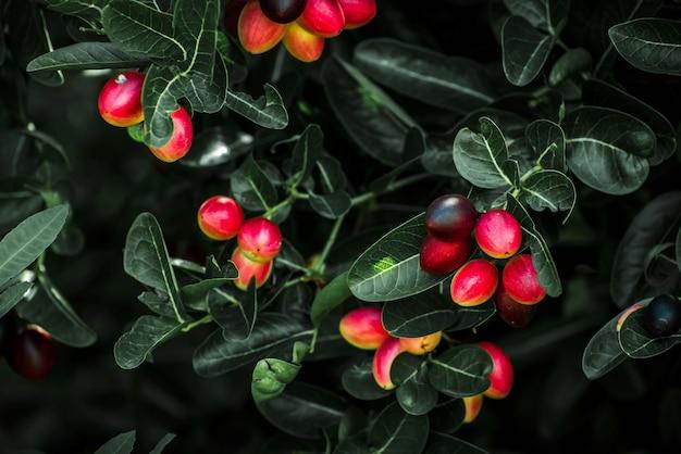 De karanda-vrucht in de tuin.