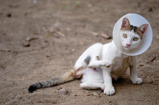 De kat draagt een halsband om het likken van de wond na sterilisatie te voorkomen sick cat concept