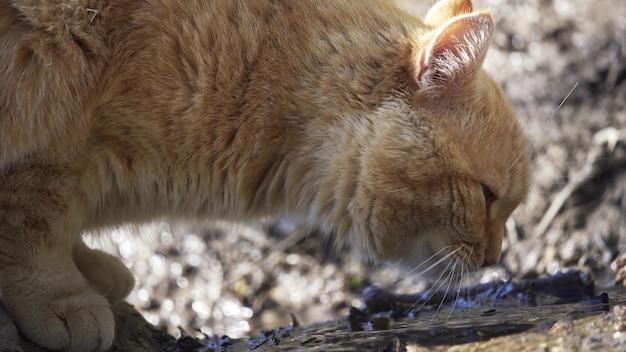 De kat drinkt water uit een plas in de straat close-up. leuke gemberkat. 4k uhd