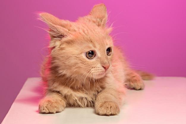 De kat op roze ruimte