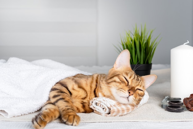 De kat rust door zijn kop op een handdoek op de massagetafel te laten rusten tijdens een kuurbehandeling
