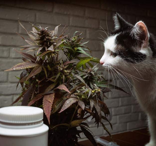 De kat snuffelt en eet een thuis geschilderde canop voor medische doeleinden