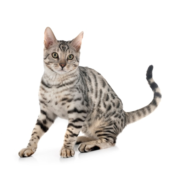 De kat van bengalen op geïsoleerd wit