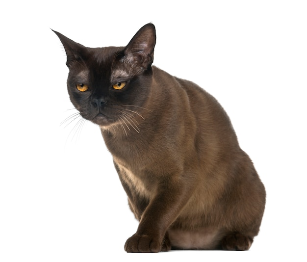 De kattenzitting van bombay die op wit wordt geïsoleerd