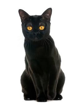De kattenzitting van bombay en het bekijken de camera die op wit wordt geïsoleerd
