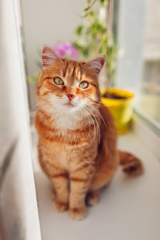 De kattenzitting van de gember op vensterbank thuis in de ochtend. huisdier genietend van de zon.