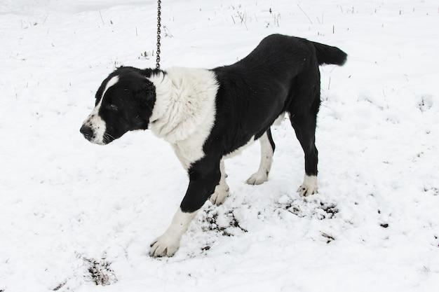 De kaukasische herdershond wordt in de winter aan een ketting tegen de sneeuw vastgemaakt. een van de oudste authentieke hondenrassen van de kaukasus.