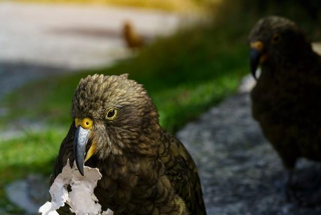 De kea, de zogenaamde the clown of the mountains, is een grote papegaai die voorkomt in beboste en alpiene streken van het zuidereiland van nieuw-zeeland