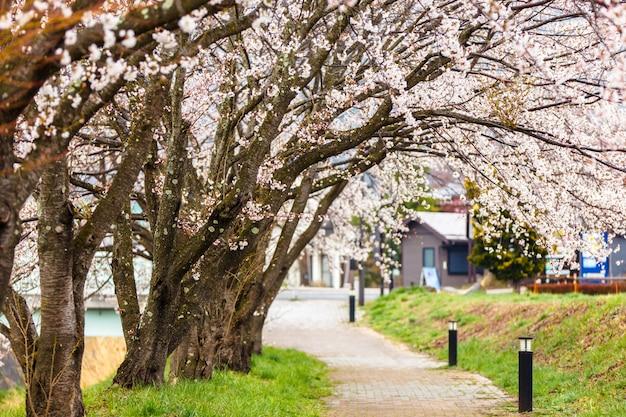 De kers komt langs het lopen van weg bij kawaguchiko-meer tijdens hanami-festival tot bloei
