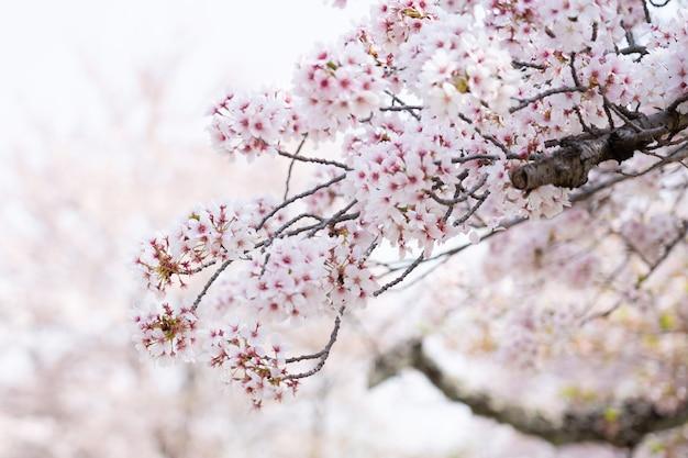 De kersenbloesem of sakura in de lente