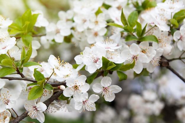 De kersenbloesem van de lente in de tuin