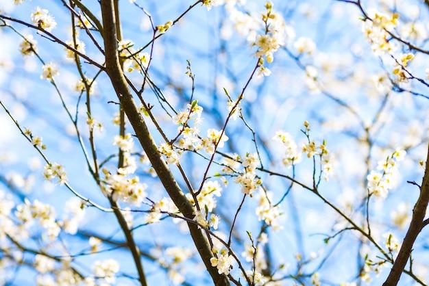 De kersenboom van de de lenteappel met witte bloemen, blauwe hemel