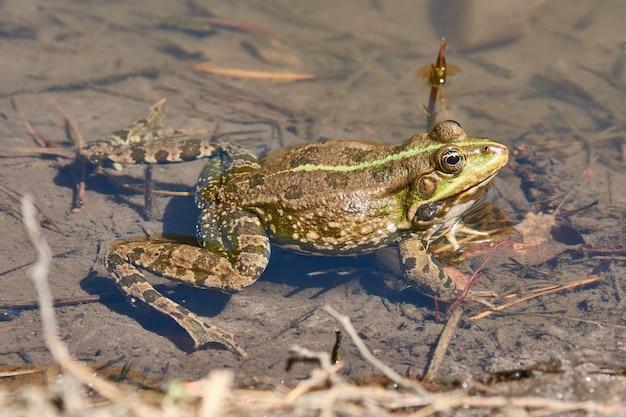 De kikker zwemt op de vijver. in de lente zijn onze vijvers en meren gevuld met het luide gekwaak van kikkers, die op dit moment aan het paren zijn. ze zoeken dus een partner voor zichzelf.