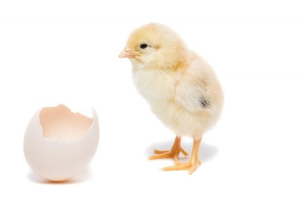 De kip komt uit de schaal