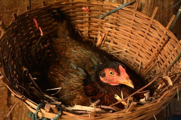 De kip komt uit in het nest