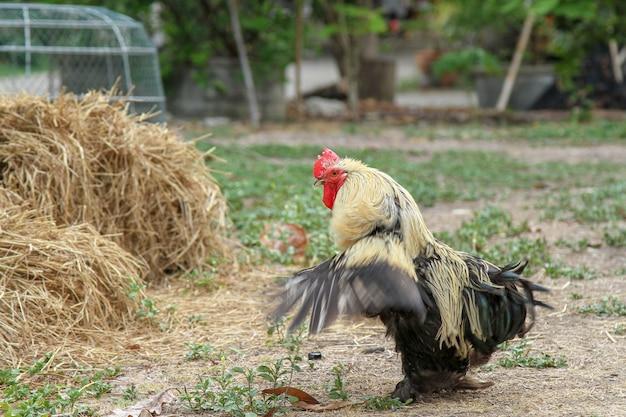 De kip van japan of bantum van japan in tuin toont vleugel