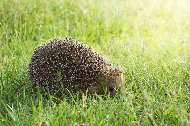 De kleine egel verbergt zijn neus in gras bij zonsondergang