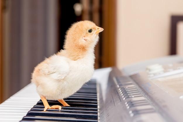 De kleine gele kip staat op de pianotoetsen