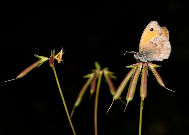 De kleine heide (coenonympha pamphilus)