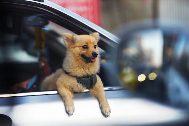 De kleine hond kijkt uit autoraam op straatmening