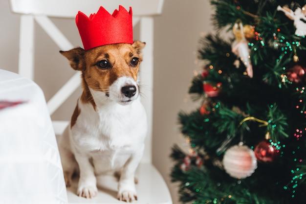 De kleine hond van het ras van jackrussell stelt tegen verfraaide spar, zit op leunstoel