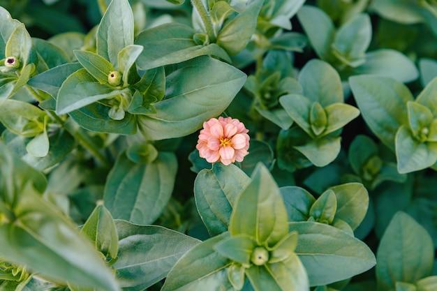 De kleine roze zinnia bloeide als eerste in het bloembed.