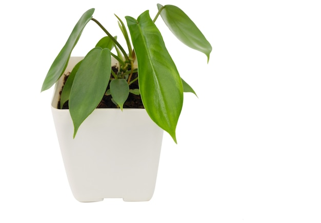 De kleine schoonheid van philodendron florida lijkt zo bont in de pot geïsoleerd op een witte achtergrond