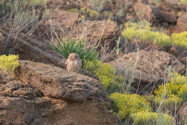 De kleine uil in natuurlijke habitat athene noctua.