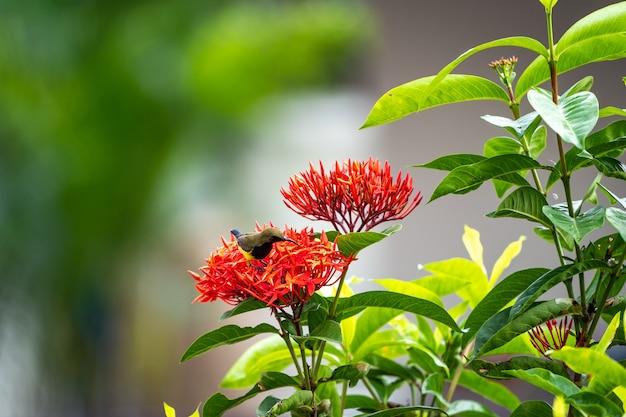De kleine uiterst kleine vogel bevindt zich en eet carpel van rode aarbloem.