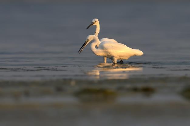 De kleine zilverreiger (egretta garzetta) in het water gefilmd in zacht ochtendlicht