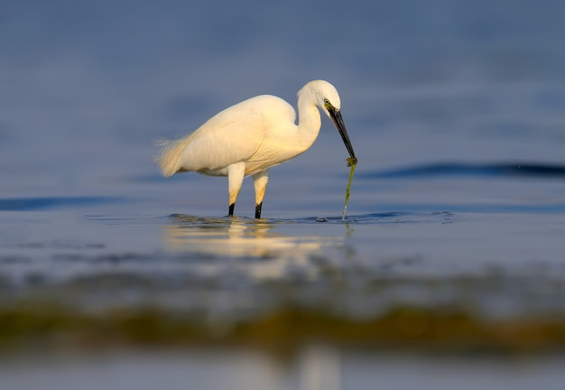 De kleine zilverreiger (egretta garzetta) staat in kalm blauw water en houdt een vis gevangen in zijn bek