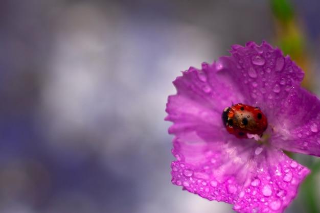 De kleine zitting van de damezak op bloeiende anjer roze bloem met druppels water.